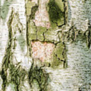 Detail Of Brich Bark Texture Art Print