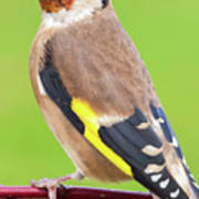 European Goldfinch Bird Close Up   Art Print