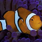 False Ocellaris Clownfish In Its Host Art Print