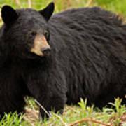 Maine Black Bear Art Print
