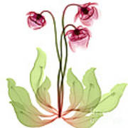 Pitcher Plant Flowers, X-ray Art Print