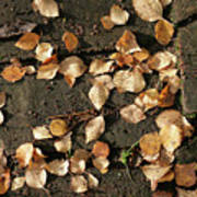 Silver Birch Leaves Lying On A Brick Path In A Cheshire Garden On An Autumn Day   England Art Print