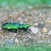 6-spotted Green Tiger Beetle Art Print