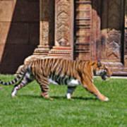 61- Sumatran Tiger Art Print