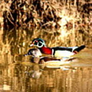 6980 - Wood Duck Art Print