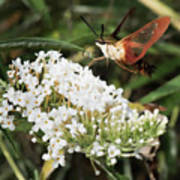 Clearwing Hummingbird Moth Art Print