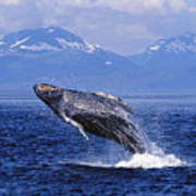 Humpback Whale Breaching Art Print