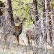 Mule Deer In The Pike National Forest Of Colorado Art Print