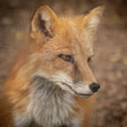 Russian Red Fox Art Print