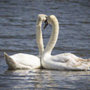 Swan -- Art Print