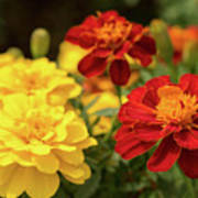 Tagetes Patula Fully Bloomed French Marigold At Garden In Octob Art Print