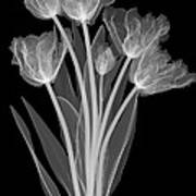 Tulips, X-ray Art Print
