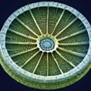 Diatom, Sem Art Print by Steve Gschmeissner