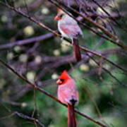 7440-008 Cardinal Art Print