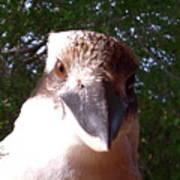 Australia - Kookaburra Stickybeak Art Print