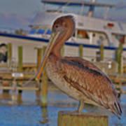 8- Brown Pelican Art Print