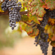 Grapes On The Vine Art Print by Andy Dean