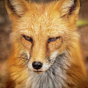 Russian Red Fox Art Print