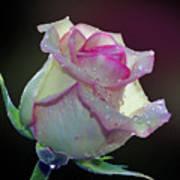 Nice Rose Art Print