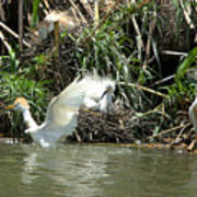Cattle Egret Cooling Off In The Lake Art Print