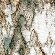 Detail Of Brich Bark Texture Art Print
