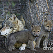 Gray Wolf And Cubs Art Print
