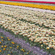 Tulip Fields Art Print