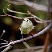 9343-00-ruby-crowned Kinglet Art Print