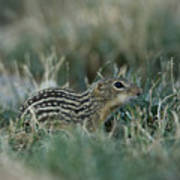 A 13-lined Ground Squirrel At The Henry Art Print