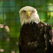 A Bald Eagle At The Lincoln Zoo Art Print