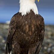 A Bald Eagle Art Print