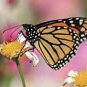 A Beautiful Monarch Art Print
