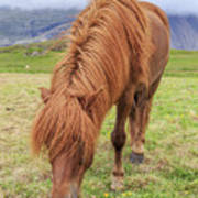 A Beautiful Red Mane On An Icelandic Horse Art Print