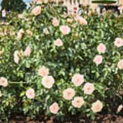 A Beautiful Rose Bush Castle Park 6 Art Print