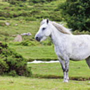 A Beautiful White Dartmoor Pony, Devon, England Art Print