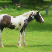 A Beautiful Young Gypsy Vanner Standing In The Pasture Art Print