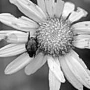 A Beetle And A Daisy  Art Print