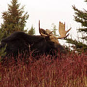 A Big Fierce-eyed Bull Moose Art Print