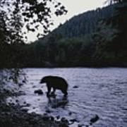 A Black Bear Searches For Sockeye Art Print