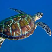 A Black Sea Turtle Off The Coast Art Print by Michael Wood