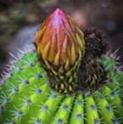 A Blooming Cactus Art Print