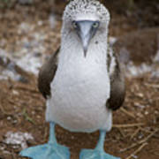 A Blue Footed Booby Looks At The Camera Art Print