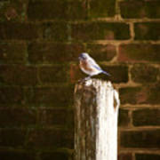 A Bluebird At The Governor's Palace Gardens Art Print