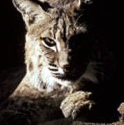 A Bobcat Sitting In A Ray Of Sun Print by Jason Edwards