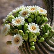 A Bouquet Of Saguaro Blossoms Art Print