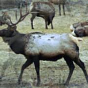 A Bull Elk  Art Print