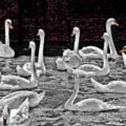 A Cacophony Of Swans Art Print