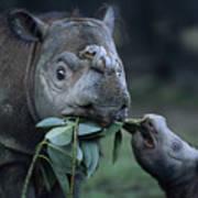 A Captive Sumatran Rhinoceros Art Print by Joel Sartore
