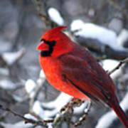 A Cardinal Day... Art Print