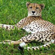 A Cheetah Resting On The Grass Art Print